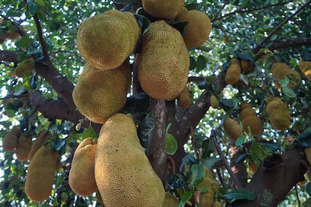 たくさんのジャックフルーツがぶら下がっているジャックフルーツの木