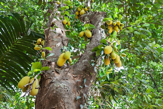 パラミツの木