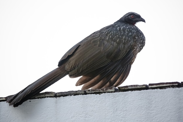 Jacu penelope is a genus of craciform birds which contains fifteen species