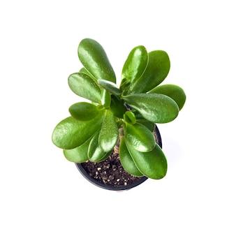 흰색 표면 상위 뷰에 고립 된 꽃 냄비에 옥 공장 crassula ovata