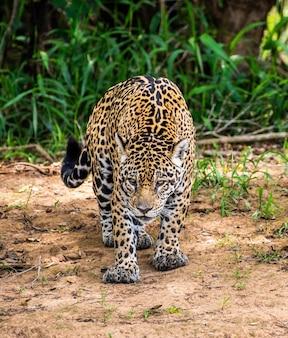 Jaguar among the jungle.