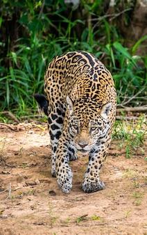 ジャングルの中のジャガー。