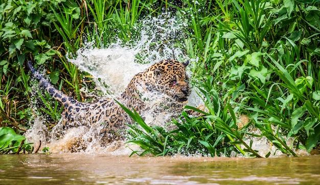 Jaguar attacks its prey in the water.