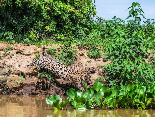 Jaguar attacks its prey.