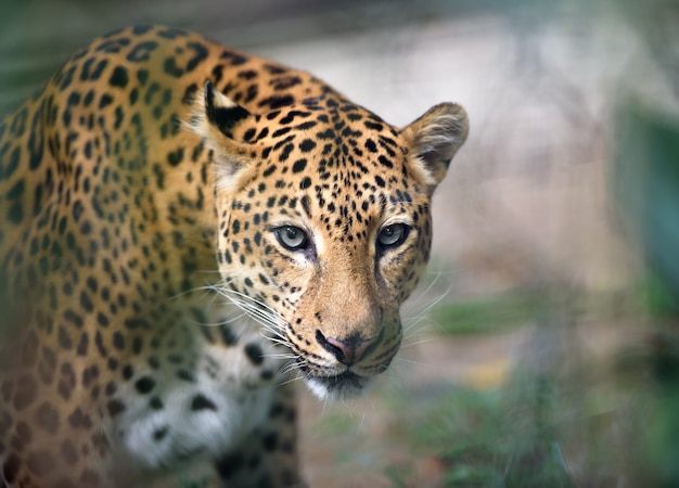 Jaguar closeup portrait