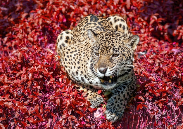 Jaguar crouched in the wild nature.