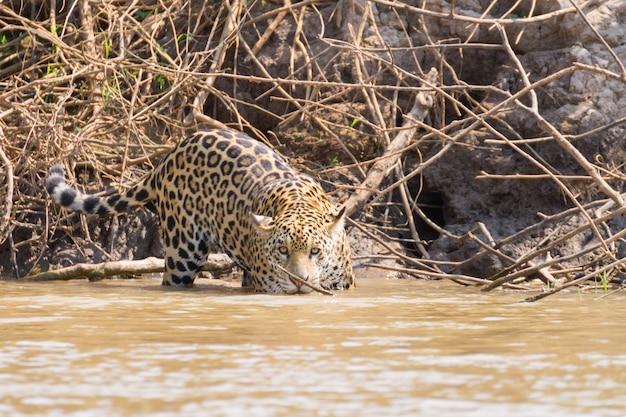 Jaguar from pantanal, brazil. brazilian wildlife