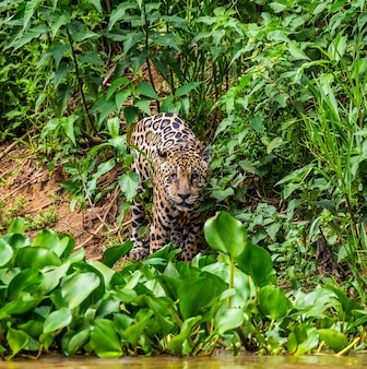 Jaguar is looking for its prey in the water among the grass.