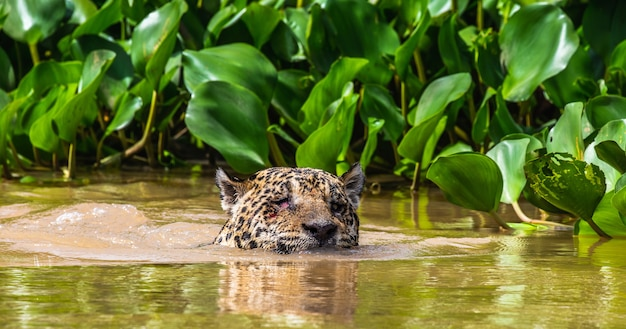 Jaguar is swimming on the river.