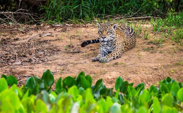 Jaguar lies on the ground among the jungle.