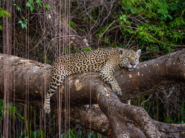Jaguar lies on a picturesque tree in the middle of the jungle.