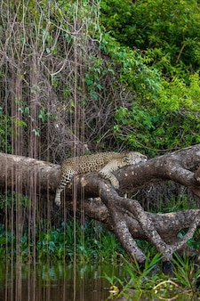 Jaguar lies on a picturesque tree above the water in the middle of the jungle