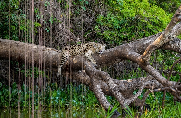 Jaguar lies on a picturesque tree above the water in the middle of the jungle.