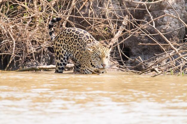 ブラジル、パンタナールの川岸にあるジャガー。野生のブラジルの猫。自然と野生生物