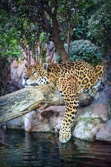 A jaguar relaxes on a tree trunk