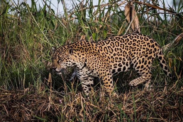 ジャガーは野生の中を歩いている。パンタナルの野生生物。