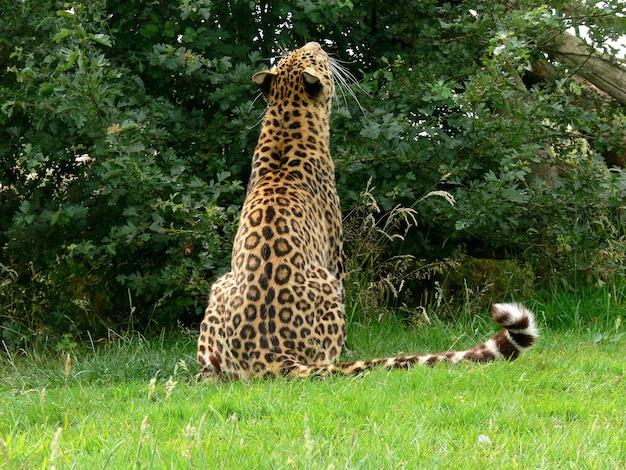 Jaguar in a zoo environment