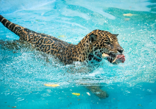 Jaguars show eating in the water.