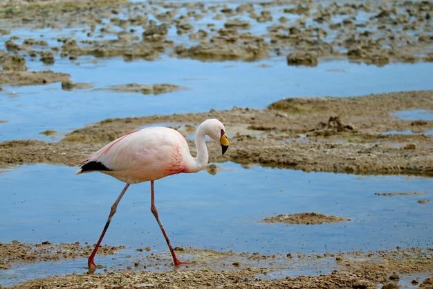 James flamingo walking in the shallow water of laguna hedionda