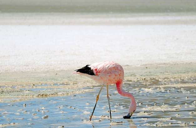 James's flamingo grazing in laguna hedionda, the saline lake on andean altiplano, bolivia
