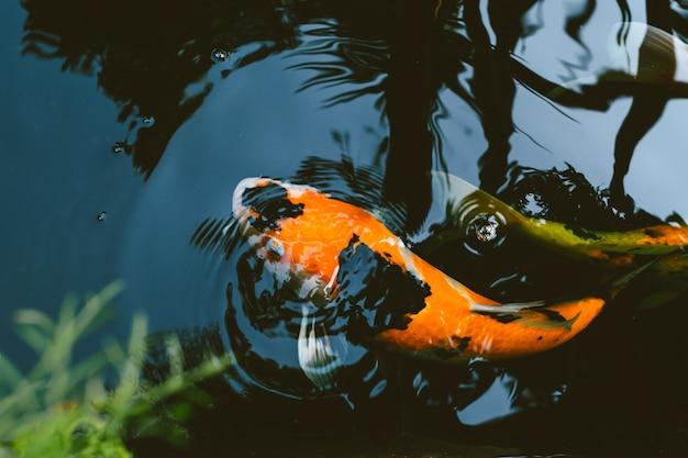 Japan koi carp fish in pond vintage colortone