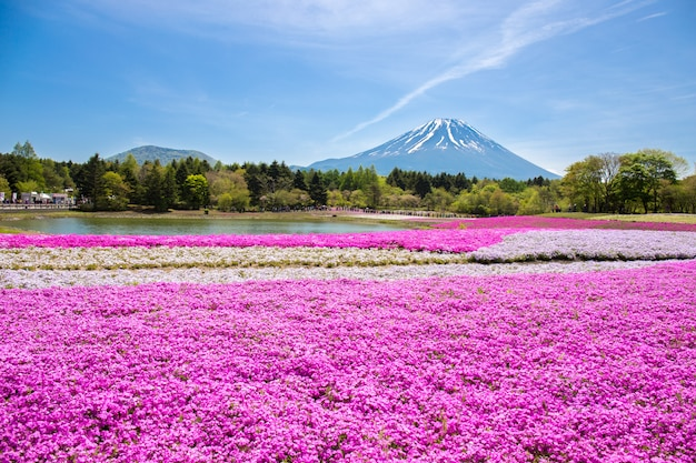 Japan shibazakura festival with the field of pink moss of sakura or cherry blossom mountain fuji