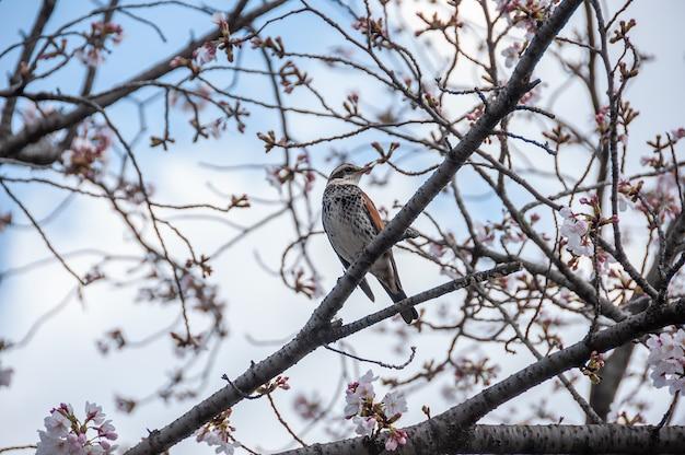 左を向いている桜の枝にいる日本の鳥