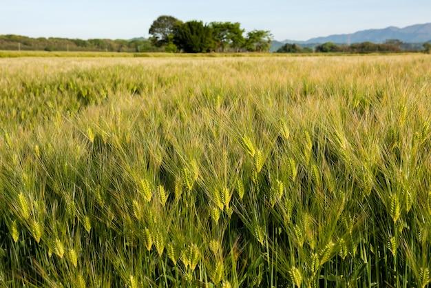やわらかな太陽の光に照らされた日本の明るい緑の小麦畑