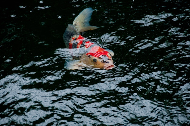 Japanese bright orange red carp fish in sacred pond
