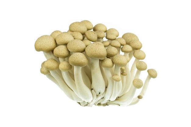 Japanese brown beech mushrooms buna shimeji isolated on white