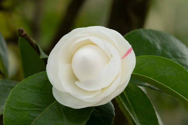 ツバキホワイト。庭の茂みの枝に美しい白い大きな花、春の花の背景