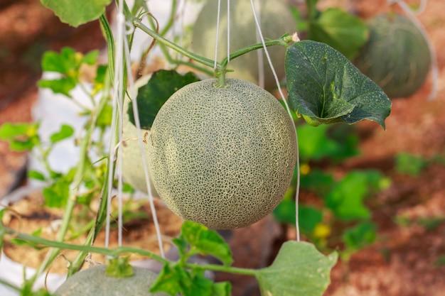 Japanese cantaloupe melon farm