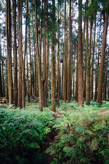 Japanese cedar and cypress trees in the forest in alishan national forest recreation area in chiayi county