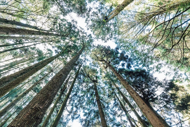 Japanese cedar trees in the forest that see from below in alishan national forest recreation area in chiayi county, alishan township, taiwan.