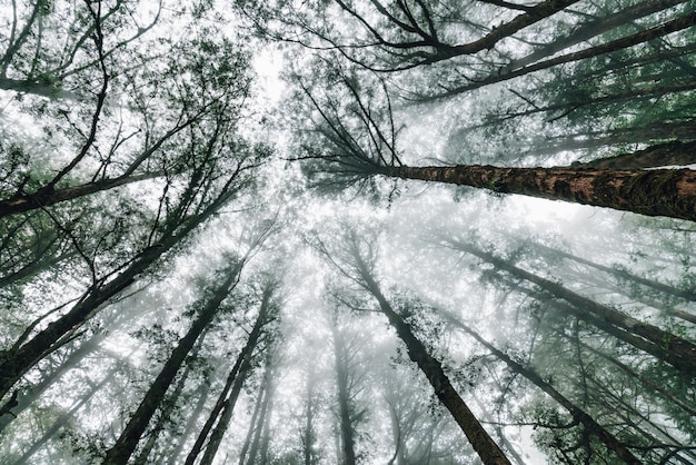 Japanese cedar trees in the forest with fog that look from below