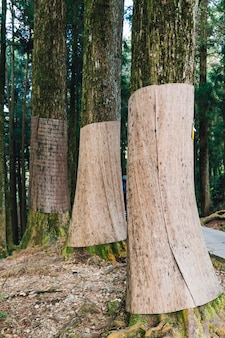 Japanese cedar trees that warp with burlap to prevent winter browning in the forest in alishan national forest recreation area
