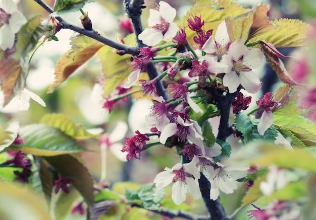 Цветение японской сакуры ранней весной