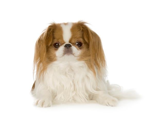 分離された日本のあご犬の肖像画