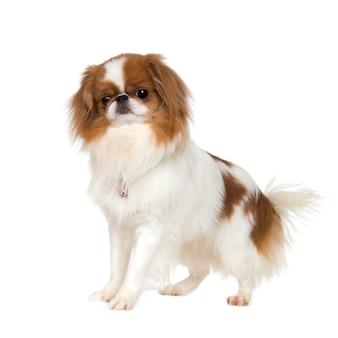 日本のあご犬 Premium写真