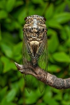 Japanese cicada graptopsaltria nigrofuscata, the large brown, called aburazemi in japanese