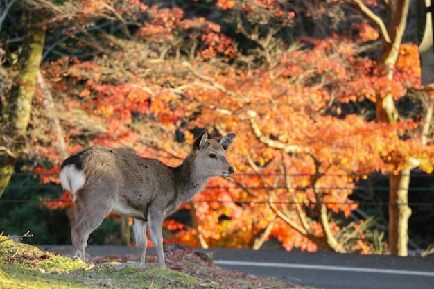 Japanese deer eating grass with red maple leaves tree.