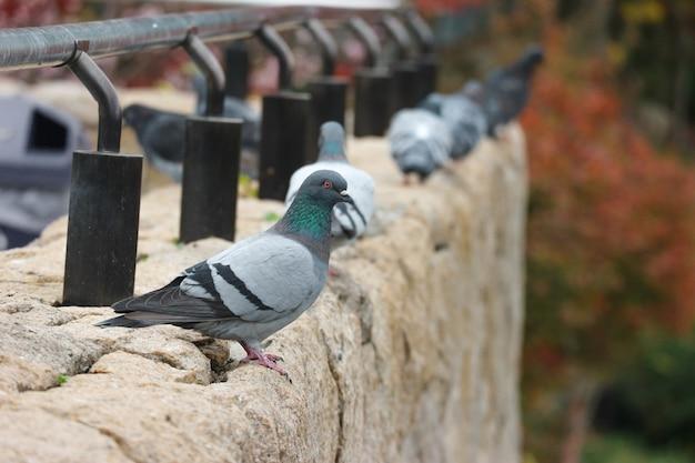 Japanese dove bird standing on the rock stone.