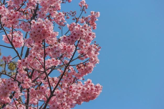 Japanese full blooming pink cherry blossom sakura branch tree