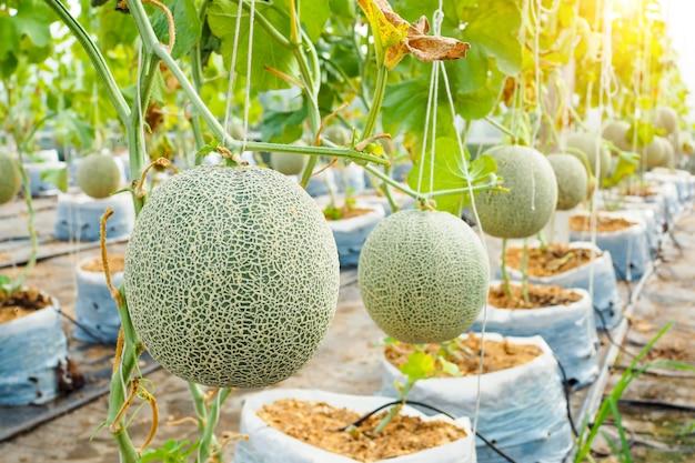 Japanese green cantaloupe. fresh melon on tree in garden.
