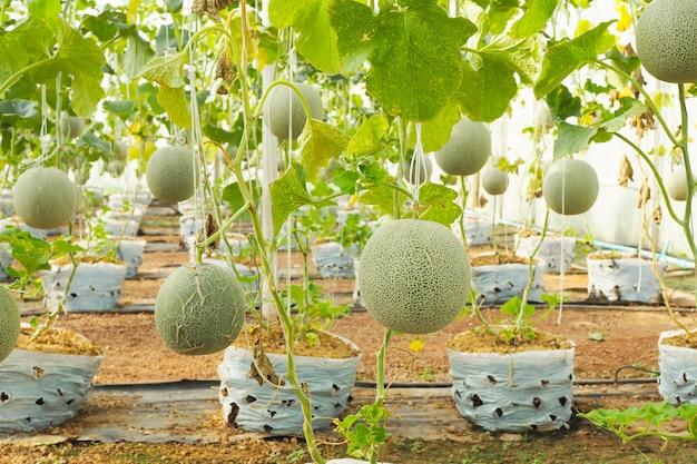 Japanese green cantaloupe. fresh melon on tree in garden