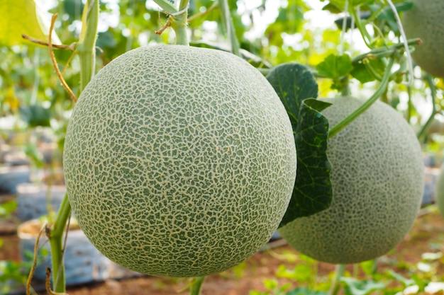 Japanese green cantaloupe