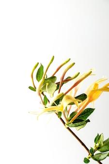 白い壁に隔離されたスイカズラの枝。高品質の写真