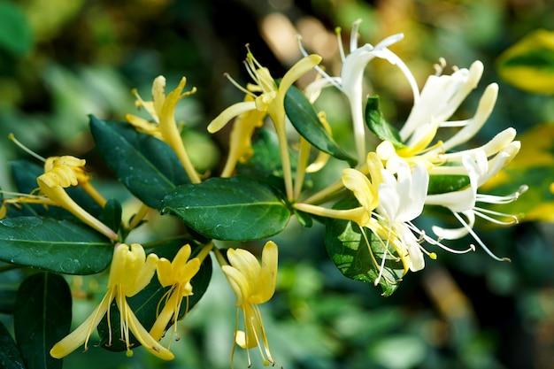 정원에 있는 일본 인동덩굴 lonicera japonica