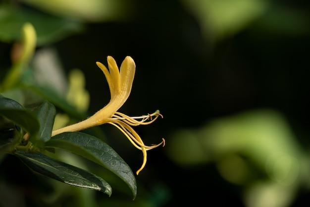 自然に咲くスイカズラまたはスイカズラの花。