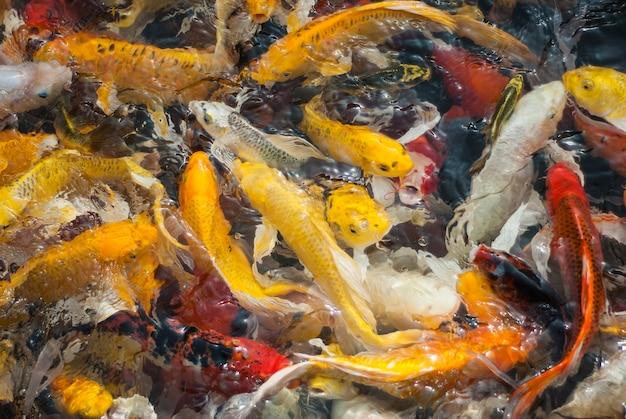 Japanese koi fish on water